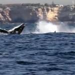 whalewatching Sydney
