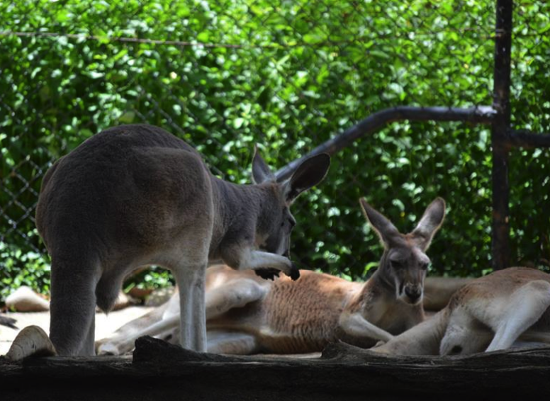 Taronga Zoo Kangaroo Meeting